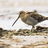 Japanese snipe. Adult. Manawatu River estuary, December 2000. Image © Alex Scott by Alex Scott