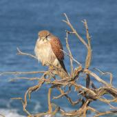 Nankeen kestrel. Adult female, perching above a sea cliff. Razorback walkway, Loch Ard Gorge, Port Campbell National Park, Victoria, Australia, July 2013. Image © Kyle Bland by Kyle Bland