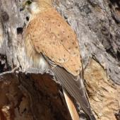 Nankeen kestrel. Adult male. Canberra, Australia, September 2017. Image © R.M. by R.M.