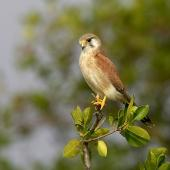 Nankeen kestrel. Adult female perched. Townsville, Queensland, Australia, July 3006. Image © Sonja Ross by Sonja Ross