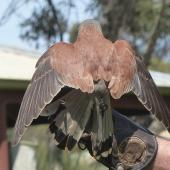 Nankeen kestrel. Adult male, dorsal view (trained/captive bird). Raptor Domain, Kangaroo Island, Australia, September 2013. Image © Alan Tennyson by Alan Tennyson