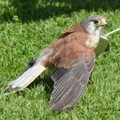 Nankeen kestrel. Adult male (trained/captive bird). Raptor Domain, Kangaroo Island, Australia, September 2020. Image © Alan Tennyson by Alan Tennyson