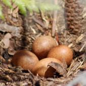New Zealand falcon. Four eggs in nest scrape. Kaingaroa Forest,  near Rotorua, December 2007. Image © Suzi Phillips by Suzi Phillips