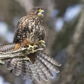 New Zealand falcon. Female perched with tail fanned. Wellington, August 2011. Image © Steve Attwood by Steve Attwood http://stevex2.wordpress.com/