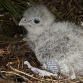 New Zealand falcon. Male chick in nest scrape. Wellington, September 2011. Image © Steve Attwood by Steve Attwood http://stevex2.wordpress.com/