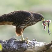 New Zealand falcon. Female with prey remains. Wellington, September 2011. Image © Steve Attwood by Steve Attwood http://stevex2.wordpress.com/