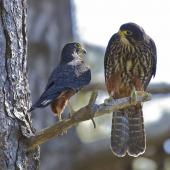 New Zealand falcon. Adult pair showing size difference (larger female on right). Wellington, September 2011. Image © Steve Attwood by Steve Attwood http://stevex2.wordpress.com/