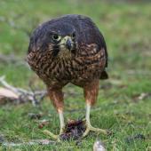 New Zealand falcon. Immature, feeding. Te Anau marina, September 2017. Image © Anja Köhler by Anja Köhler