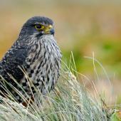 New Zealand falcon. Adult southern falcon. Auckland Islands, February 2008. Image © Craig McKenzie by Craig McKenzie
