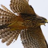 New Zealand falcon. Adult flight underside. East Otago, January 2011. Image © Craig McKenzie by Craig McKenzie