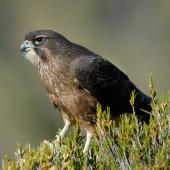 New Zealand falcon. Immature. Fiordland, April 2007. Image © Craig McKenzie by Craig McKenzie