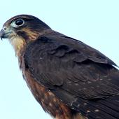 New Zealand falcon. Immature. Wanganui, July 2011. Image © Ormond Torr by Ormond Torr