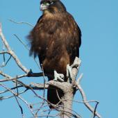 New Zealand falcon. Juvenile female (bush form). Kaingaroa Forest,  near Rotorua, January 2007. Image © Andrew Thomas by Andrew Thomas