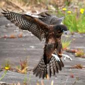 New Zealand falcon. Juvenile landing. Ohakune, January 2013. Image © Cheryl Marriner by Cheryl Marriner http://www.glen.co.nz/cheryl