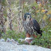 New Zealand falcon. Female eating rabbit on ground. Queenstown, December 2015. Image © Kathleen McIndoe by Kathleen McIndoe