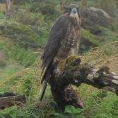 New Zealand falcon. Juvenile, southern form. Enderby Island, February 2010. Image © Geoff Rogers by Geoff Rogers