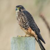 New Zealand falcon. Subdult. Katiki Point, Moeraki, May 2017. Image © Les Feasey by Les Feasey
