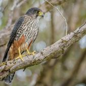 New Zealand falcon. Adult male (southern form). Enderby Island, Auckland Islands, January 2016. Image © Tony Whitehead by Tony Whitehead www.wildlight.co.nz