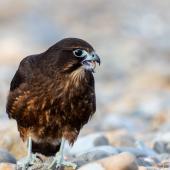 New Zealand falcon. Immature bird eating rangle stones on the beach. Wellington, April 2021. Image © Imogen Warren by Imogen Warren