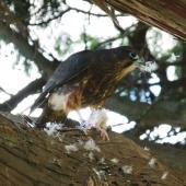 New Zealand falcon. Juvenile plucking a day-old chicken. Rotorua, February 2014. Image © Joke Baars by Joke Baars
