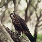 New Zealand falcon. Immature southern falcon. Camp Cove, Auckland Islands, September 1979. Image © Department of Conservation (image ref: 10032270) by Chris Robertson, Department of Conservation Courtesy of Department of Conservation