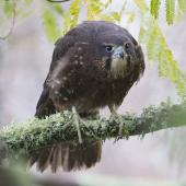 New Zealand falcon. Immature female. Massey University, Palmerston North, May 2017. Image © Phil Battley by Phil Battley