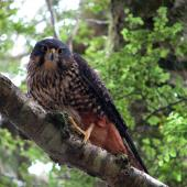 New Zealand falcon. Adult male bush falcon, in nest defence mode. Catlins Forest, November 2008. Image © Cheryl Pullar by Cheryl Pullar
