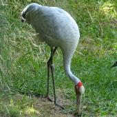 Unidentified crane. Adult brolga in captivity. Hamilton Zoo, January 2016. Image © Alan Tennyson by Alan Tennyson
