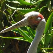 Unidentified crane. Adult brolga. Hamilton Zoo, December 2010. Image © Alan Tennyson by Alan Tennyson