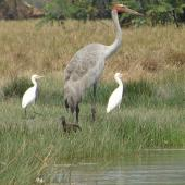 Unidentified crane. Adult brolga with 2 cattle egrets and a glossy ibis. Corroboree billabong, Darwin, Australia, August 2009. Image © Rosemary Tully by Rosemary Tully