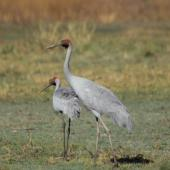 Unidentified crane. A pair of brolgas. Marlgu Billabong at Parry's lagoon, Wyndham, Kimberley Western Australia, August 2014. Image © Roger Smith by Roger Smith