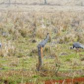 Unidentified crane. Mixed flock feeding, with two sarus cranes in foreground. Atherton Tableland,  Queensland,  Australia, July 2011. Image © Ray Buckmaster by Ray Buckmaster