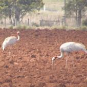 Unidentified crane. Two adult sarus cranes. Atherton Tableland,  Queensland,  Australia, November 2012. Image © Jim Murray by Jim Murray