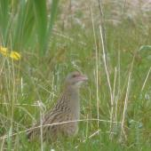 Corncrake. Adult male. Outer Hebrides, Scotland, May 2012. Image © Robin Spry 2012 birdlifephotography.org.au by Robin Spry