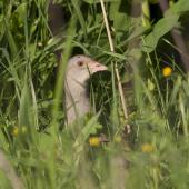 Corncrake. Adult male. Russia, Bashkino, Moscow region, May 2012. Image © Sergey Yeliseev by Sergey Yeliseev