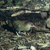 Auckland Island rail. Adult female in captivity. Mount Bruce Wildlife Centre, September 1975. Image © Department of Conservation (image ref: 10036059) by Rod Morris Courtesy of Department of Conservation