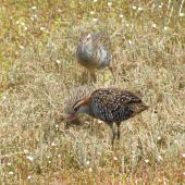 Banded rail. Male and female with chick. Marahau Beach, Tasman Bay, December 2011. Image © David Samways by David Samways
