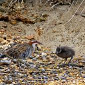 Banded rail. Adult male with chick. Marahau Beach, Tasman Bay, November 2011. Image © Peter Frost by Peter Frost