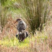 Banded rail. Pair mating. Shakespear Regional Park, October 2017. Image © Donald Snook by Donald Snook