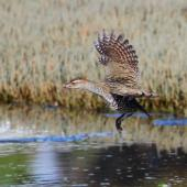 Banded rail. Adult in flight. Okoromai Bay, Shakespear Regional Park, April 2016. Image © Donald Snook by Donald Snook