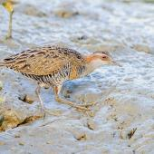 Banded rail. Adult foraging on a tidal mudflat. Sandspit, Kawau Bay, Warkworth, April 2012. Image © Tony Whitehead by Tony Whitehead www.wildlight.co.nz