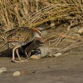 Banded rail. Adult feeding chick. Great Barrier Island, January 2014. Image © Bartek Wypych by Bartek Wypych