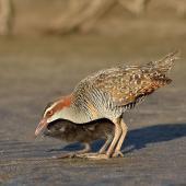 Banded rail. Adult feeding chick. Great Barrier Island, January 2014. Image © Bartek Wypych by Bartek Wypych