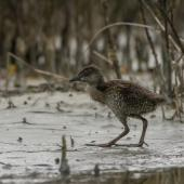 Banded rail. Half-grown chick. Miranda, February 2016. Image © Bartek Wypych by Bartek Wypych