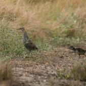 Banded rail. Adult with half-grown chick. Miranda, February 2016. Image © Bartek Wypych by Bartek Wypych