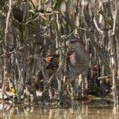 Banded rail. Adult well camouflaged among mangrove pneumatophores. Miranda, February 2016. Image © Bartek Wypych by Bartek Wypych
