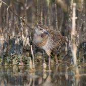 Banded rail. Half-grown chick in front of mangrove pneumatophores. Miranda, February 2016. Image © Bartek Wypych by Bartek Wypych