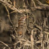 Banded rail. Adult taking prey from cobweb among mangrove pneumatophores. Miranda, March 2016. Image © Bartek Wypych by Bartek Wypych