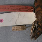 Dieffenbach's rail. Holotype specimen labels in Tring Museum NHM 1842.9.29.12. Chatham Island. Image © Alan Tennyson & the Natural History Museum by Alan Tennyson