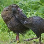Weka. Adult western weka with large chick. Oparara Valley,  Karamea, December 2013. Image © Steve Attwood by Steve Attwood   http://www.flickr.com/photos/stevex2/